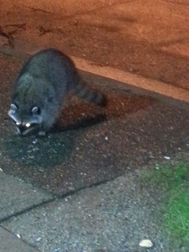 Racoon Vancouver Canada