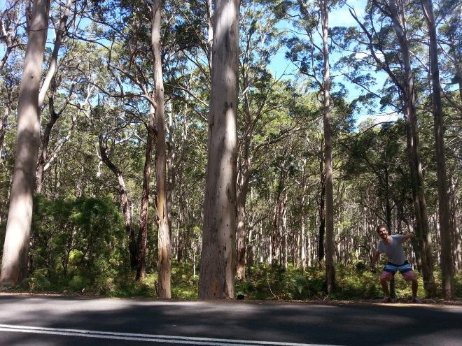 Hamelin Bay giant trees 3