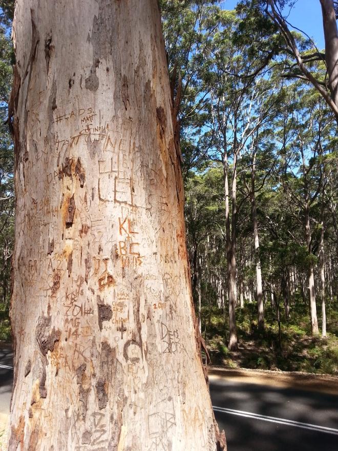 Hamelin Bay giant trees 7