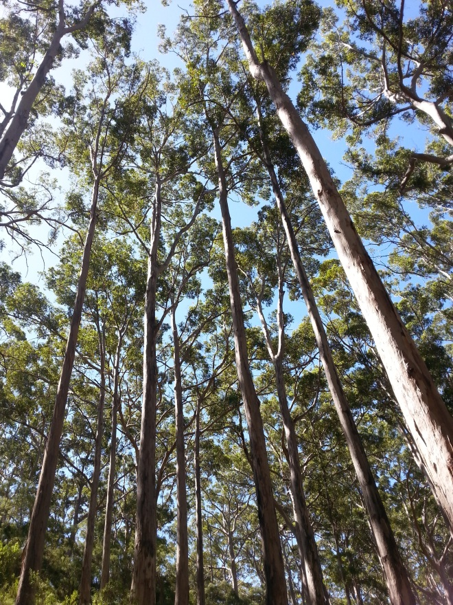 Hamelin Bay giant trees 6