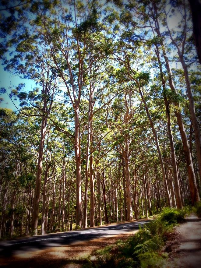 Hamelin Bay giant trees