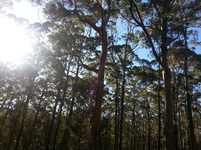 Tree nortcliffe