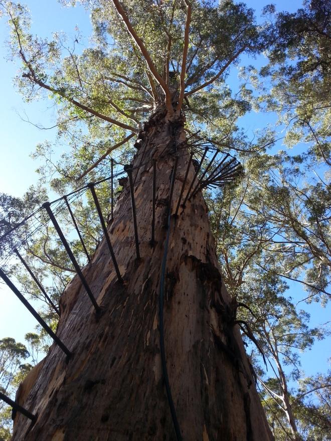 Tree climbing Northcliffe