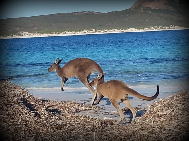 kangourou heureux