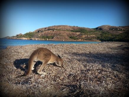 kangourou sur la plage