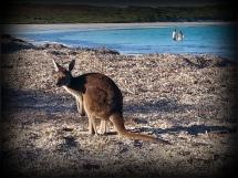 Lucky kangourous