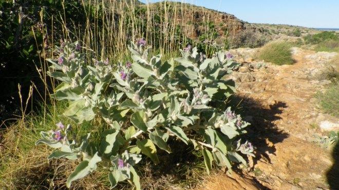 Cape Range National Park fleur