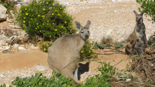 wallabi et baby